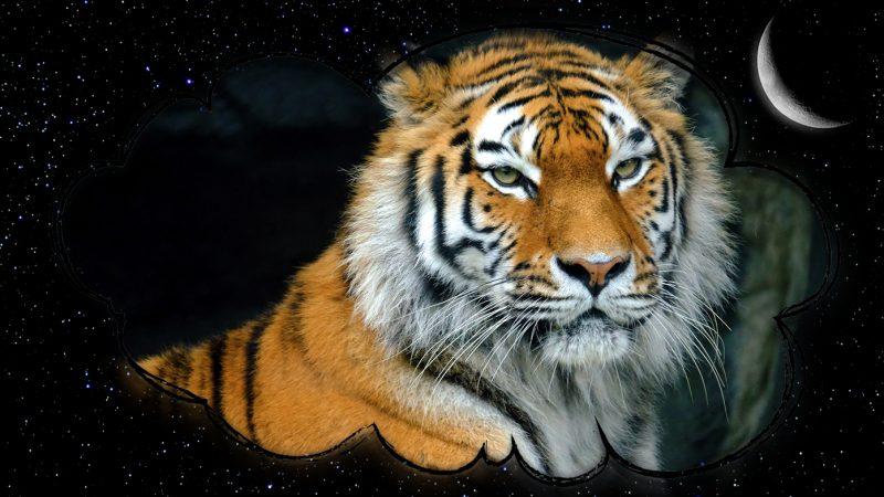 Сонник: Тигр. К чему снится тигр?